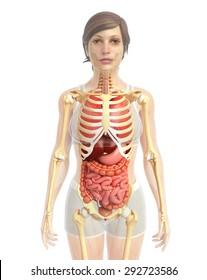 3d rendered illustration of female digestive system artwork