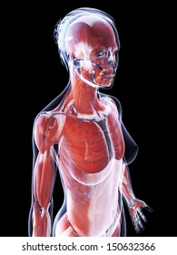3d rendered illustration of the female muscle system