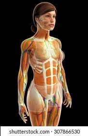 3d rendered illustration of female muscular system