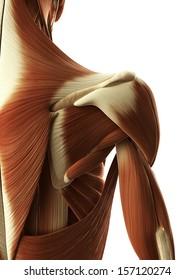 3d rendered illustration of female shoulder muscle
