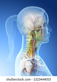 3d rendered illustration of a females anatomy of the neck