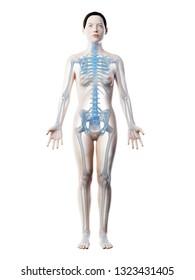 3d rendered illustration of a females skeleton and ligaments