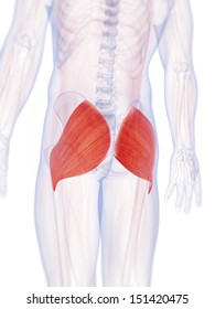 3d rendered illustration of the gluteus maximus