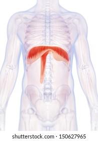 3d rendered illustration of the human diaphragm