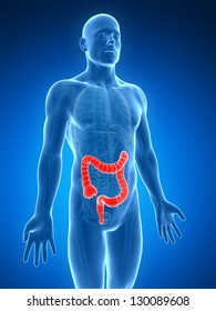 3d rendered illustration of the human large intestine