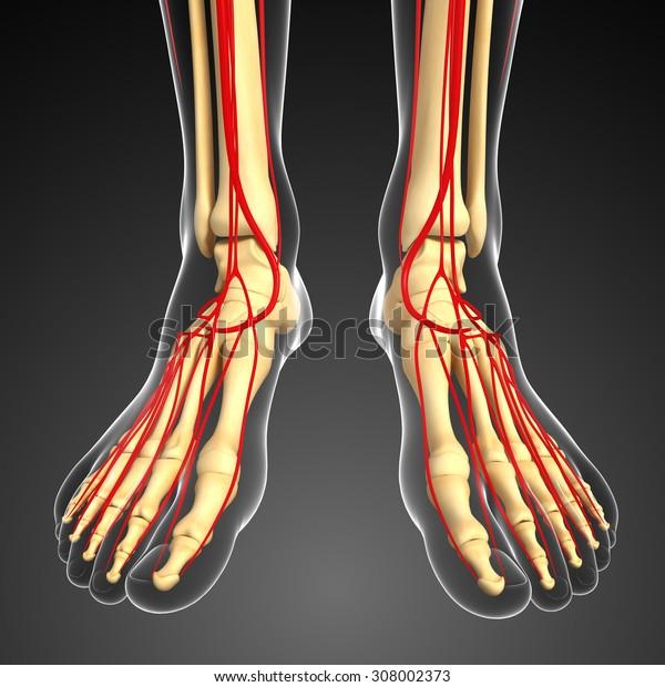 3d rendered illustration of leg arterial system