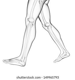 3d rendered illustration of the leg bones