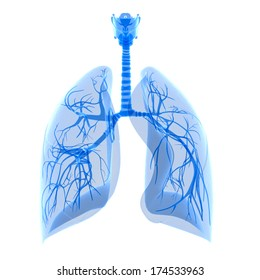 3d rendered illustration - lung and bronchi