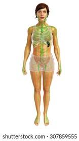 3d rendered illustration of lymphatic system