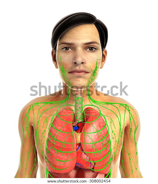3d rendered illustration of male lungs anatomy