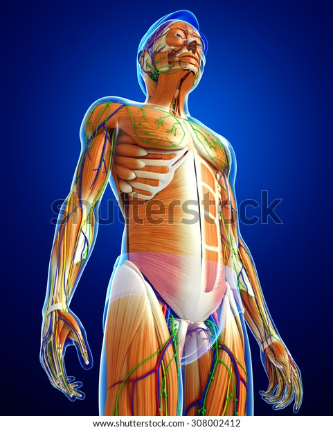 3d rendered illustration of male muscles anatomy