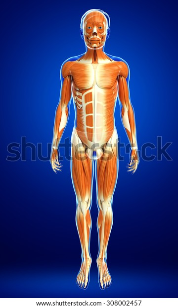 3d rendered illustration of male muscular system