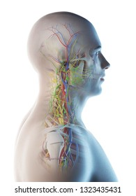3d rendered illustration of a mans anatomy of the head and neck