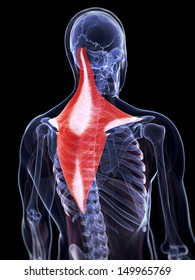 3d rendered illustration of the trapezius muscle