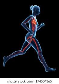3d rendered illustration - vascular system of a jogger