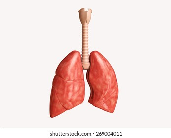 3d rendered lungs isolated on white background