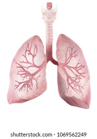 3d rendered medically accurate illustration of the human lung and bronchi