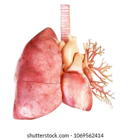 3d rendered medically accurate illustration of the human heart and lung