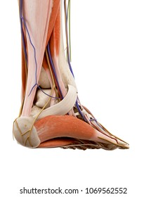 3d rendered medically accurate illustration of the human foot anatomy