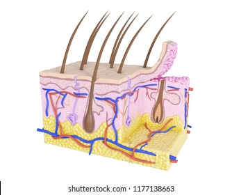 3d rendered medically accurate illustration of skin cross-section