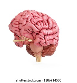 3d rendered medically accurate illustration of a realistic human brain