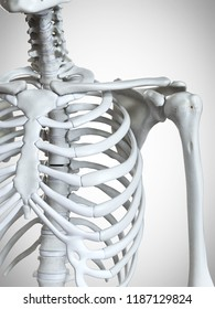 3d rendered medically accurate illustration of the shoulder bones