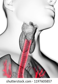 3d rendered medically accurate illustration of a mans trachea
