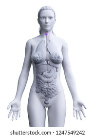 3d rendered medically accurate illustration of a womans thyroid