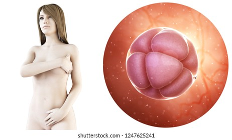 3d rendered medically accurate illustration of a pregnant woman, 8 cell embryo
