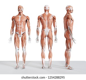 3d rendered medically accurate illustration of the male muscle system