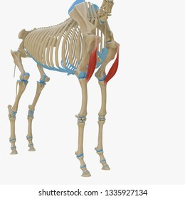 3d rendered medically accurate illustration of the equine muscle anatomy - Biceps Brachii
