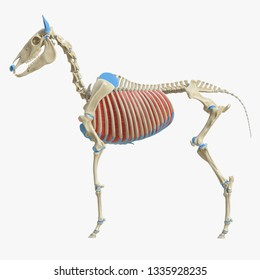3d rendered medically accurate illustration of the equine muscle anatomy - Intercostal Interni