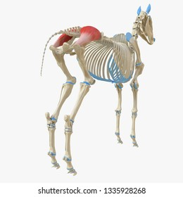 3d rendered medically accurate illustration of the equine muscle anatomy - Gluteus Medius