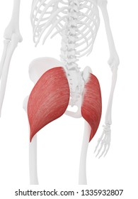 3d rendered medically accurate illustration of the Gluteus Maximus