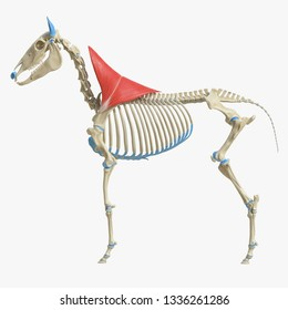 3d rendered medically accurate illustration of the equine muscle anatomy - Trapezius