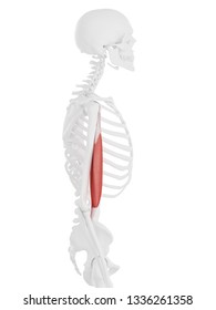 3d rendered medically accurate illustration of the Biceps Brachii