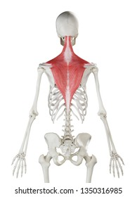 3d rendered medically accurate illustration of a womans Trapezius