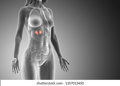 3d rendered medically accurate illustration of a womans adrenal glands