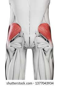 3d rendered medically accurate illustration of the gluteus medius