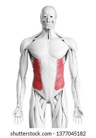 3d rendered medically accurate illustration of the external oblique muscle