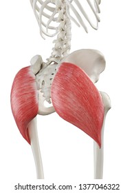 3d rendered medically accurate illustration of a females gluteus maximus