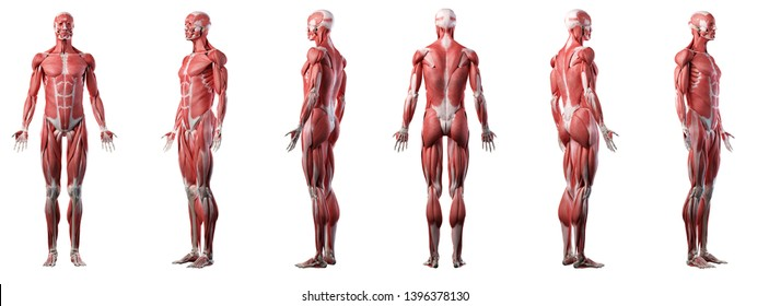3d rendered medically accurate illustration of a mans muscle system