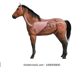 3d rendered medically accurate illustration of the horse anatomy - internal organs
