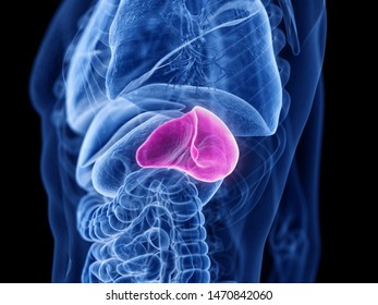 3d rendered medically accurate illustration of the spleen