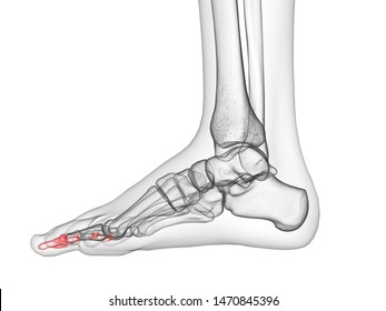 3d rendered medically accurate illustration of the distal phalanx bones