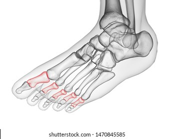 3d rendered medically accurate illustration of the middle phalanx bone