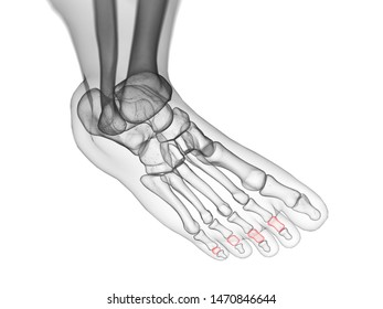 3d rendered medically accurate illustration of the middle phalanx bones