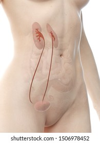 3d rendered medically accurate illustration of a womans ureter
