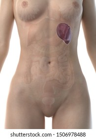 3d rendered medically accurate illustration of a womans spleen