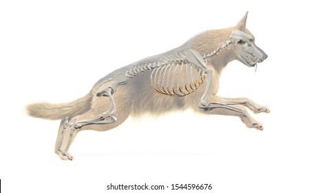 3d rendered medically accurate illustration of a dogs skeletal system
